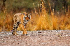 Indische Tigerfrau mit erstem Regen, wildes Tier im Naturlebensraum, Ranthambore, Indien Große Katze, gefährdetes Tier Ende von t Lizenzfreie Stockfotografie