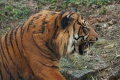 Indische tijger Royalty-vrije Stock Foto's