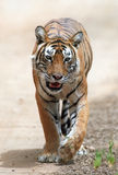 Indische tijger stock afbeelding