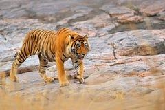 Indische tijger, wild gevaarsdier in aardhabitat, Ranthambore, India Grote kat, bedreigd zoogdier, aardige bontjas Eind van droge stock afbeelding