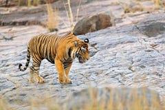 Indische tijger, wild gevaarsdier in aardhabitat, Ranthambore, India Grote kat, bedreigd zoogdier, aardige bontjas Eind van droge stock foto's