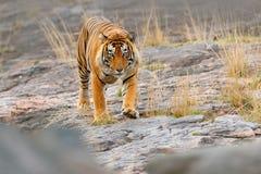 Indische tijger, wild gevaarsdier in aardhabitat, Ranthambore, India Grote kat, bedreigd zoogdier, aardige bontjas Tijger op stee stock afbeeldingen