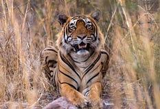 Indische tijger in wildernis Stock Afbeeldingen
