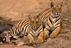 Indische tijgers Royalty-vrije Stock Foto's