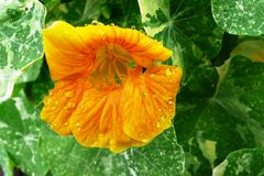 Indische tuinkers Royalty-vrije Stock Foto's
