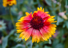 Indische umfassende Wildflower-Blüte Stockfoto