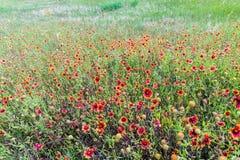 Indische umfassende Wildflowers in Texas Lizenzfreie Stockfotos