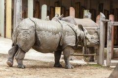 Indische unicornis van de rinocerosrinoceros stock foto