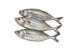 Indische verse makreel stock foto