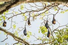 Indische vleerhond stock afbeeldingen