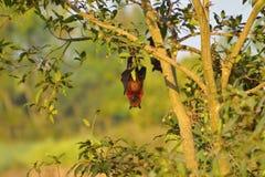 Indische Vleerhond, Pteropus-giganteus hangende bovenkant - neer van een boom dichtbij Sangli, Maharashtra royalty-vrije stock afbeelding