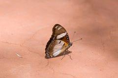 Indische Vlinder Royalty-vrije Stock Afbeelding