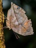 Indische vlinder Leafwing Stock Fotografie