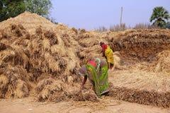 Indische vrouwenlandbouwers die hooi stapelen stock foto's
