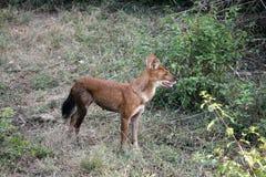 Indische wilde hond Stock Foto