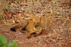 Indische Wilde Hond, Cuon-alpinus, tadoba-Andheri Tiger Reserve royalty-vrije stock afbeeldingen