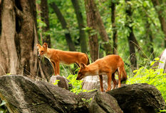 Indische wilde Hunde/Dhole Lizenzfreies Stockbild