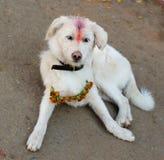 Indische witte heilige hond stock foto