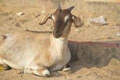 Indische Ziege Lizenzfreie Stockfotografie