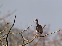 Indische Zwarte Ibis, Red-naped Ibis, Pseudibis papillosa royalty free stock photography
