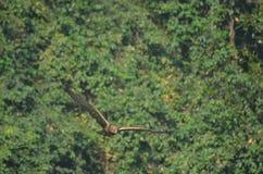 Indischer Adler stockfoto