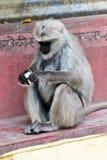 Indischer Affe Stockbild