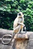 Indischer Affe Lizenzfreies Stockfoto