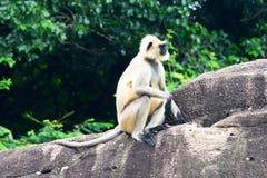 Indischer Affe Stockfotos