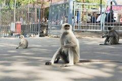 Indischer Affesitz auf Straße lizenzfreies stockfoto