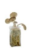 Indischer Austern- oder Phoenix-Pilz auf weißem Hintergrund Lizenzfreie Stockfotografie