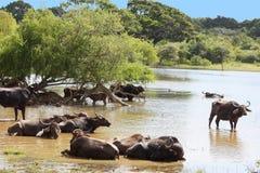 Indischer Büffel, der im Fluss Yala Sri Lanka badet Stockbilder