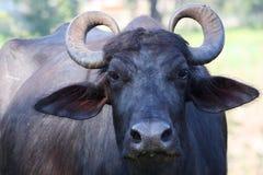 Indischer Büffel (Sri Lanka) Lizenzfreie Stockfotografie