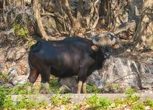Indischer Bison Stockfoto