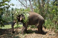 Indischer Elefant Stockfotos