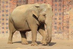 Indischer Elefant Stockfoto