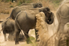 Indischer Elefant Elephas maximus lizenzfreie stockfotografie