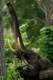 Indischer Elefant Elephas maximus stockfotografie