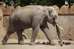 Indischer Elefant Elephas maximus indicus Stockfoto