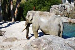 Indischer Elefant mit dem Elfenbeinstoßzahn Lizenzfreie Stockfotos