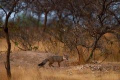Indischer Fuchs Stockfoto