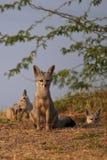 Indischer Fuchs lizenzfreie stockfotografie