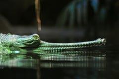 Indischer gavial Kopf Lizenzfreies Stockfoto