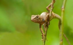Indischer Gecko auf einem Baumstamm Stockbilder