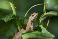 Indischer Gecko innerhalb eines Busches, der heraus, Kolkata, Indien schaut Stockfoto