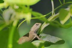 Indischer Gecko innerhalb eines Busches, der heraus, Kolkata, Indien schaut Lizenzfreie Stockfotografie