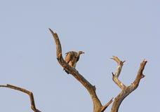 Indischer Geier in einem Baum Stockbild