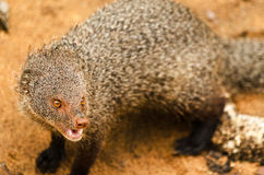 Indischer grauer Mungo in Nationalpark Yala stockfotos