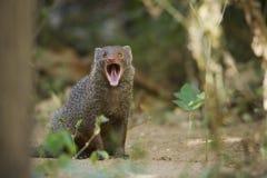 Indischer grauer Mungo in Sri Lanka Lizenzfreies Stockbild