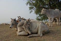 Indischer Kuh-Rest im Sun 2 Lizenzfreie Stockfotos