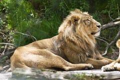 Indischer Löwe stockbilder
